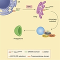 Graphical abstract of Phosphorylation of Syntaxin 17 by TBK1 Controls Autophagy Initiation